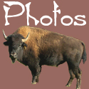Bison Photos